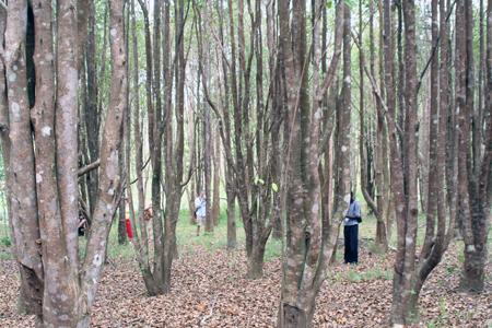 Junge Adlerholz-Bäume in einer Plantage im Norden Thailands