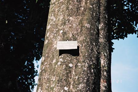 Ein uralter Adlerholzbaum im Botanischen Garten von Bogor, Indonesien.