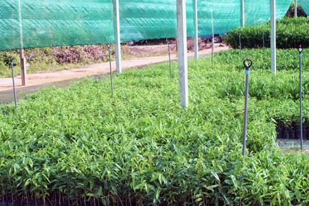 Junge Adlerholz-Pflanzen in eine Plantage im Osten von Thailand