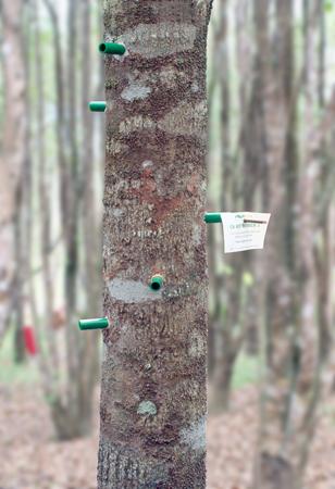 """Eine """"geimpfter"""" Adlerholzbaum, um die innere Harzbildung anzuregen."""