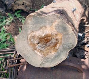 Im Innern des Baumes hat sich das begehrte Holz gebildet.