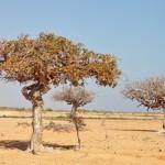 Myrrhe-Baum